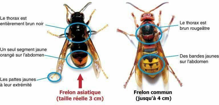 frelon asiatique et commun morestel